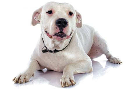 The Dogo Argentino, sometimes called the Argentinian