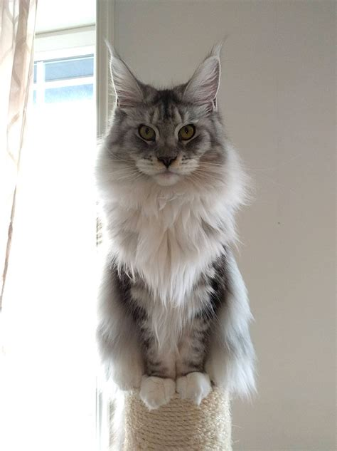 30 Cute Maine Coon Kittens That Are Actually Giants